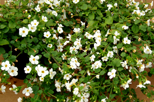 Bacopa
