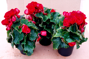Himalisbegonia