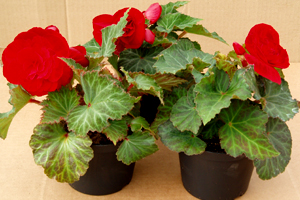 Knollbegonia