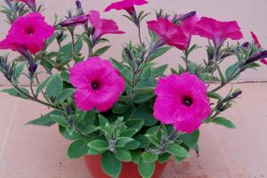 Stor petunia